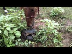 Watch a Feisty Turtle Terrorize a Nosy Horse | Horse Collaborative