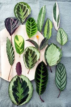 CALATHEA leaves..want them all. Just need a greenhouse..
