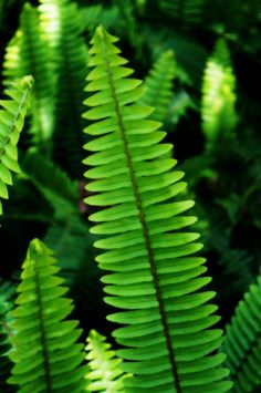 ladder Ferns