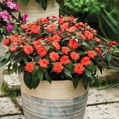 Impatiens SunPatiens® Compact Orange