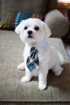 Capri Jewelers Arizona ~ www.caprijewelersaz.com  so handsome!!! Maltese What my dog .Zeus looks like.