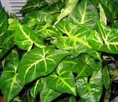 ARROW HEAD PLANT ..... 1. Arrowhead plant requires low to medium light. Bright light--especially direct sunlight—can burn the plant's delicate foliage.  2.Keep arrowhead vine moist but not soggy. Wait for the top inch of soil to dry out before watering.