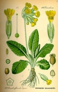 Cowslip - Side Effects, Uses and Health Benefits