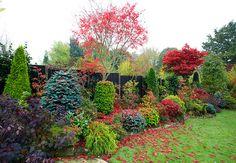 Autumn leaves of Acer palmatum 'Trompenburg' are quickly f… | Flickr