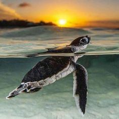 We proudly donate 10% of our net profits to sea turtle and ocean conservation projects around the world. 🐢💙 By supporting PI, you are helping us to make our mission to save the sea turtle a reality. 🙌 #savetheseaturtles #piyogapants Save The Sea Turtles, Turtle Conservation, San Diego Beach, Marine Life, Whale, Around The Worlds, Tropical, Ocean, Home