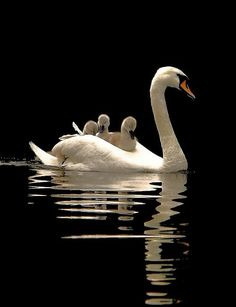 White Swan and her three babies / Beyaz anne kuğu ve yavruları :) Beautiful Swan, Beautiful Birds, Animals Beautiful, Animals And Pets, Baby Animals, Cute Animals, Wild Animals, Pretty Birds, Love Birds