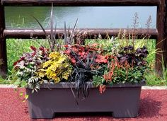 Terra Nova Nurseries - Professional Growers - Container Recipes Anthyrium 'Burgundy Lace Heuchera 'Obsidian' Heuchera 'Sweet Tea' Heuchera 'Solar Power' Heuchera 'Burnished Bronze' Phormium Black mondo grass Golden grass? Cal fuchsia?