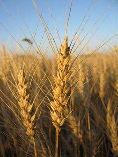 Pedigreed Wheat Seed Field in Ontario