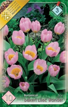 Tulipa bakeri 'Lilac Wonder' - Botanikai tulipán Plants, Plant, Planets