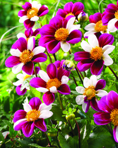Twying's Smartie Novelty Dahlia - The flower petals are a random combination of…