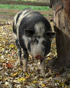 The Ossabaw pig breed is unusual and important for three reasons. Its history as an isolated island population has meant that the Ossabaw is the closest genetic representative of historic stocks brought over by the Spanish. Second, the presence of pigs on Ossabaw Island provides scientists with an exceptional opportunity to study a long-term feral population, which is well documented.
