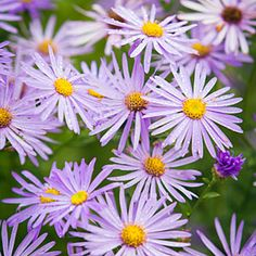 Aster x frikartii: In early summer to fall, butterflies often sun as they sip on these daisylike blooms.
