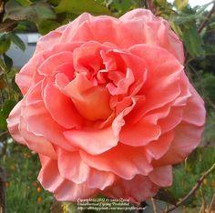 Ambassador ~ Hybrid Tea Rose