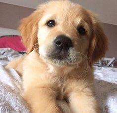 Golden puppy More