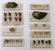 Actual Victorian shell collection specimens with original notations.