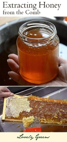 Extracting this Year's Honey from the Comb ~ Have you ever wondered how all that golden deliciousness is harvested from the hive? From Lovely Greens #beekeeping #honey