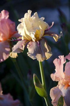 Thornbird Iris - gorgeous in the morning sun