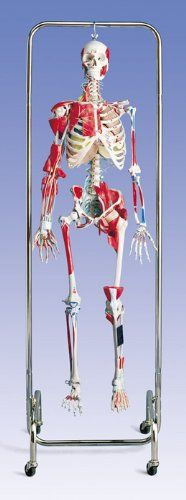 Physical Therapy Human Skeleton Model- Professional 3B Scientific https://www.amazon.com/Physical-Therapy-Skeleton-Model-Professional/dp/B00A2VHMTO/ref=as_sl_pc_ss_til?tag=pintiristboards-20&linkCode=w01&linkId=PHDAF2OQEGRIKFCJ&creativeASIN=B00A2VHMTO