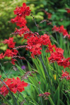 Summer Flowers, Yellow Flowers, Red Perennials, Baptisia Australis, Astrantia, Garden Soil, Gardening, Gladiolus, Geraniums