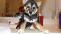 Shiba's first bath!