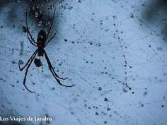Araña en Sapa