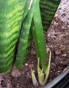 How to Propagate Snake Plants This post shares all about how to propagate snake plants, including how to propagate snake plant cuttings in water and how to propagate snak Snake Plant Propagation, Pothos Plant, Plant Cuttings, Large Plants, Cool Plants, Water Plants Indoor, Snake Plant Care, Fertilizer For Plants, House Plants Decor