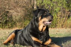 Everything About The Loving Rottweiler Puppies Temperament German Rottweiler Puppies, Rottweiler Facts, Rottweiler Training, Chihuahua Dogs, Dogs And Puppies, Big Dogs, Cute Dogs, German Dog Breeds, Dogs
