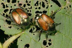 Japanese beetles are present throughout Illinois-U of IL Extension