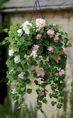 Overflowing with colour and vitality, this hanging basket of pelargoniums will turn heads and collect compliments whether you display it indoors or out. Silk flowers for outdoors at Bloom.uk.com