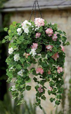 Basket of pelargoniums.