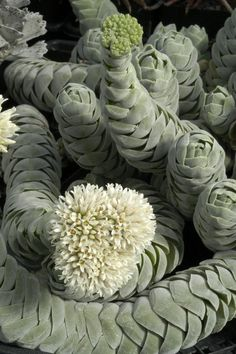 The Crassula Pangolin - a spiral succulent. This could be really scary/eerie if it moved around like a snake.