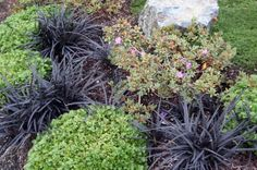 black mondo grass / shade / xeric