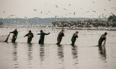 Polish fisherman pull a net from the Milickie Ponds during the traditional Carp haul in Grabownica village, south-west Poland. Traditionally...