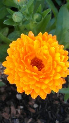 Calendula species have been used traditionally as culinary and medicinal herbs. The petals are edible and can be used fresh in salads or dried and used to color cheese or as a replacement for saffron. A yellow dye has been extracted from the flowers.[