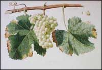 Classic Image of Sauvignon Blanc (Sauvignon) Grapes  Sauvignon Blanc probably originated in the Bordeaux region of southwestern France and was well known by the Seventeenth Century. Sauvignon Blanc is a major variety in the Bordeaux region of France and in the Sancerre and Pouilly regions in the eastern Loire Valley of France. In a classic marketing ploy, Robert Mondavi, the famous California winemaker called this variety Fumé Blanc when he very successfully popularized it in the 1960s.