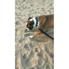 #boxerdog #dog