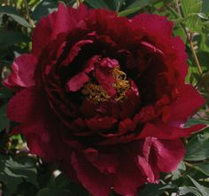 Tree Peony 'Gold Sand in a Black Ocean'