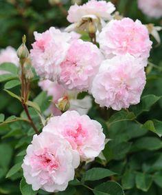 'Rosemoor' | David Austin English Rose. Austin