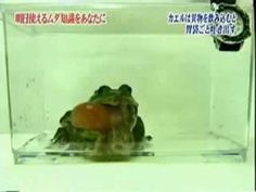 When frogs throw up, they throw up their entire stomach       Frogs were once thought to not be able to throw up. Believe it or not, it was discovered on a space mission that they in fact can throw up. They actually vomit out their stomach and it dangles from their mouth. The frog then uses its forearms to clean out the contents of the stomach.