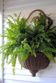 fern... so pretty at an entrance or on a garden gate~
