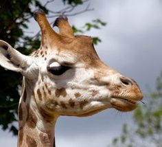 Best amazed by the animals at London zoo Dating In London, Online Dating, Giraffe, Animals, Animales, Animaux, Giraffes, Animais, Animal