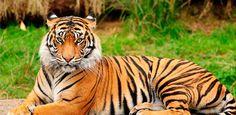 """¿Conoces de dónde viene la expresión """"matar un tigre""""? - Banca y Negocios"""