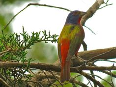 Texas Parks and Wildlife shared Gail Clinton's photo.  A male painted Bunting decked out in his colors in Wimbereley