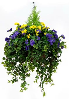 ferns and ivy in hanging baskets | ... colour pansy gerainium baskets single pansy baskets cyclamen baskets