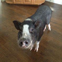 Miniature pot belly pig named Louie. What a cutie! Miniature Pot Belly Pig, Cute Piglets, Pot Belly Pigs, This Little Piggy, Homestead, Pets, Random, Friends, Lady