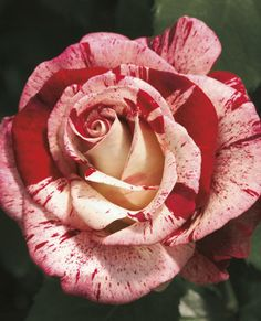 JP: Rock & Roll™(George Burns) - Creamy Bud Old-fashioned Wild Burgundy Stripes Red White Large Grandiflora Roses