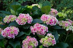 Each flower of Edgy® Hearts bigleaf hydrangea (Hydrangea macrophylla) is a circle of dark pink petals outlined in white. http://emfl.us/G1Ld
