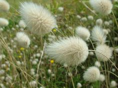 Bunny Tail Grass - Lagurus ovatus add to flower bouquet Diy Flower Boxes, Flower Beds, Flowers In Hair, Dried Flowers, Flowers Quotes Tumblr, Flower Arrangements Simple, Daisy Painting, Sun Plants, Wedding Table Flowers