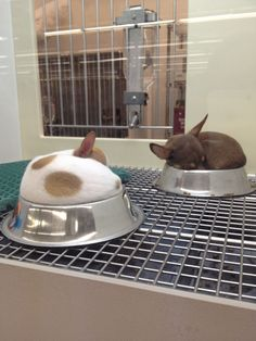 Sometimes baby Chihuahuas sleep in their bowls and I almost die from second-hand cute