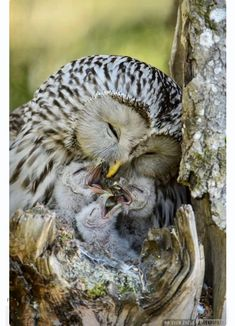 us の nature of mom maternity to feed kid's first oiseau de proie rapace bird of prey owl chouette hibou pajaro uccello Baby Owls, Cute Baby Animals, Animals And Pets, Owl Babies, Animals With Their Babies, Animal Babies, Beautiful Owl, Animals Beautiful, Beautiful Family